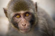 Portrait Of Rhesus Macaque