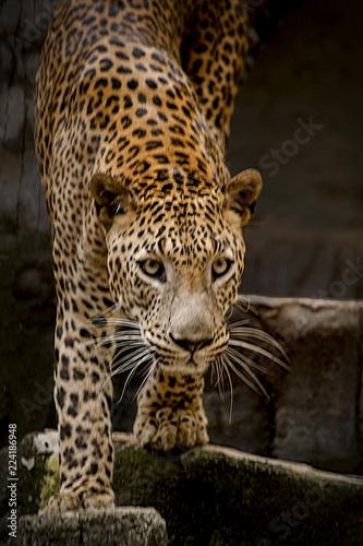 Deurstickers Luipaard The Look of a Leopard