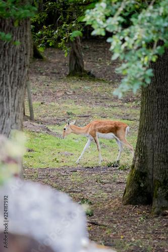 Deurstickers Antilope Antilope de Saïga