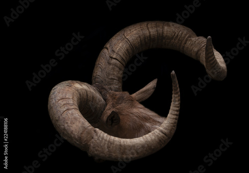Head of goat with pair of brown goat horns