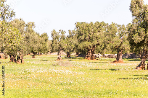 Staande foto Meloen Olive trees in the countryside of Ostuni in Salento on the Adriatic sea