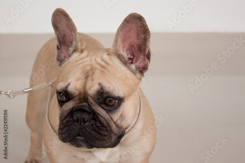 Cream-colored french bulldog puppy close up. Pet animals.
