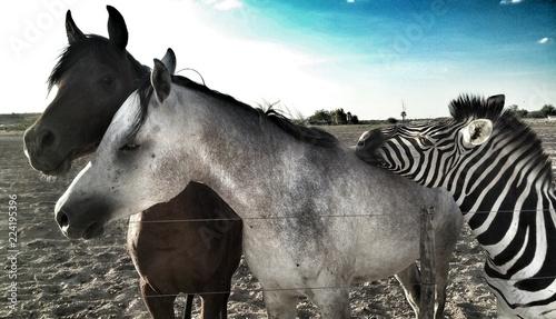 Foto op Aluminium Zebra Le zèbre amical aux chevaux noir et blanc
