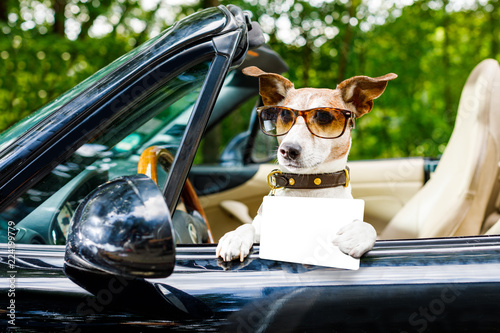 Poster Crazy dog dog drivers license driving a car