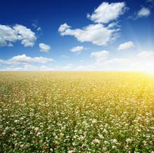 Buckwheat Field On Sky