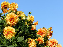 Dahlia Elijah Mason Asteraceae Variety Chrysanthemum,bright Yellow-orange Flowers, Interspersed Red Dots And Long Strips, Lot Flowers Surrounded Green Foliage Against Blue Sky Divides Photo Diagonally