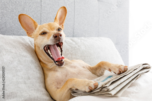 Poster Crazy dog yawning dog in bed with newspaper