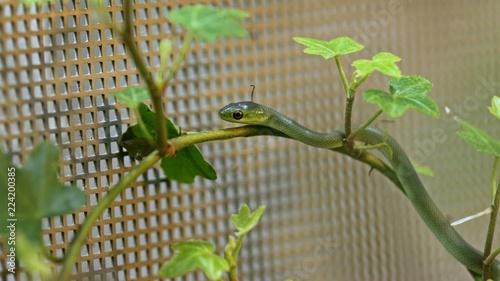 Frisch geschlüpfte Raue Grasnatter (Opheodrys aestivus) im Terrarium