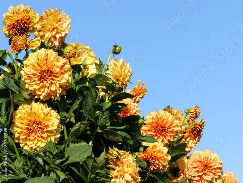 dahlia elijah mason asteraceae variety chrysanthemum,bright yellow-orange flower Wallpaper Mural