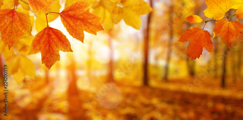 fototapeta na drzwi i meble Autumn leaves and blurred trees .
