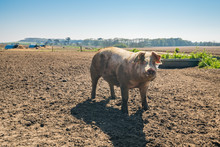 Large Pig In Outdoor Enclosure