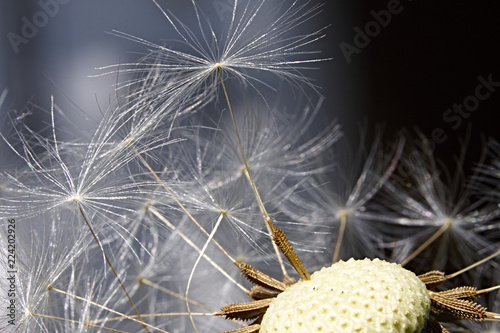 Löwenzahn Samen flaumig makro fragil