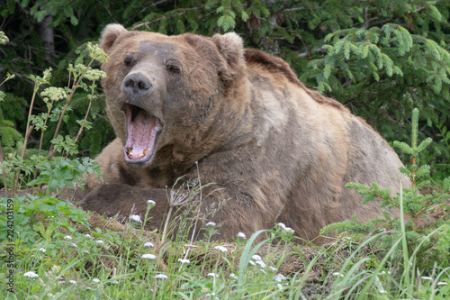 Large male Coastal brown bear (Ursus arctos) in Lake Clark National Park, Alaska. Yawning in day bed