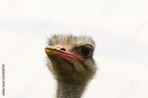 Porträt eines jungen Straußes, Struthio camelus