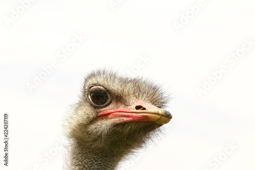 Foto op Plexiglas Struisvogel Porträt eines jungen Straußes, Struthio camelus