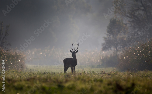 Young red deer in forest on foggy morning