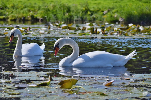 Couple of white swans...