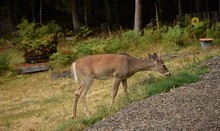 Whitetail Buck Deer Eating Gra...