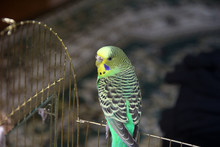 A Parrot. A Wavy Parrot Is Sitting In A Cage