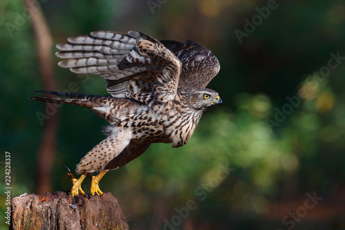 Take off of a juvenile northern goshawk in the forest in the Netherlands Wallpaper Mural