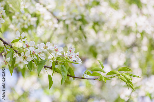 Pear tree branch blossom. White cherry flower on natural defocused background.