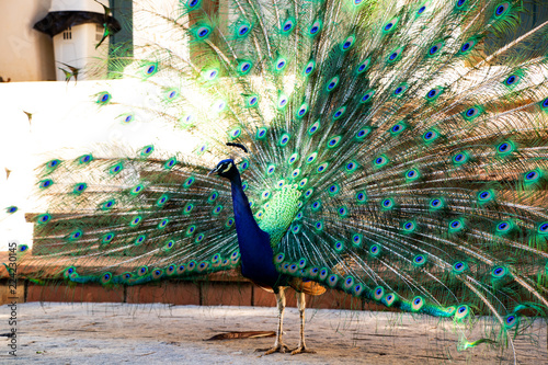 Fotobehang Pauw peacock with feathers out