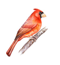 Northern Red Cardinal. Bird Is...