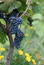 Concord Grapes On Vine