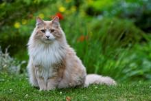 Norwegian Forest Cat Sitting In Green Blooming Garden