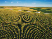 Corn Field From Drone Perspect...