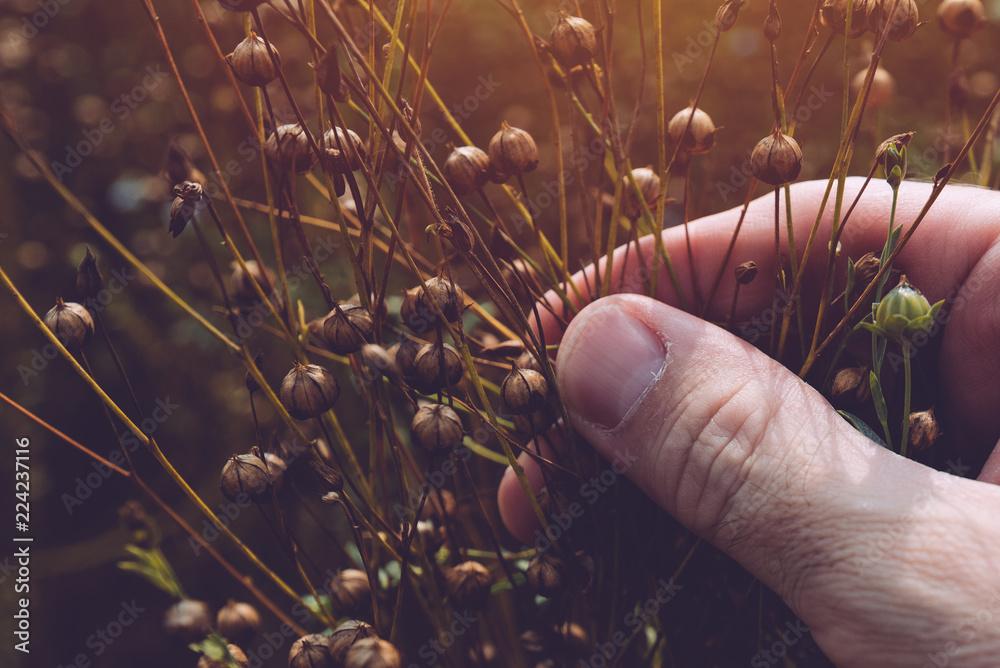 Fototapety, obrazy: Farmer examining flax plant