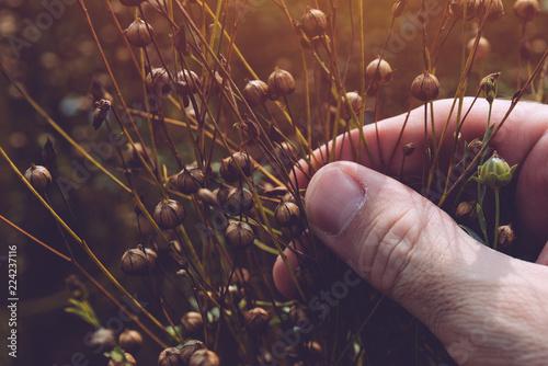 Farmer examining flax plant