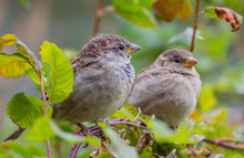 Two Sparrows Sit On A Branch And Look At Each Other In The Park In The Summer