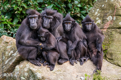 Family portrait of crested macaque monkeys, father and mother and 3 young monkeys.