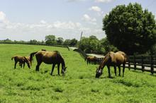 Thoroughbred Horses On A Kentu...