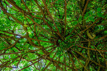 Sophora Japonica Pendula Dans ...