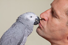 African Grey Parrot Kissing A Man