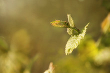 A Vine With Young Leaves And Buds Of Flowers In The Sun. Spring Vineyard.