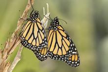 Two Newborn Monarch Butterfly's