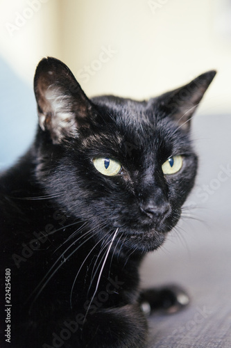 Fotografie, Obraz  black cat with white hair on the whiskers