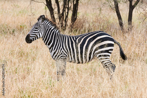In de dag Zebra Beautiful zebra standing in the african savannah.