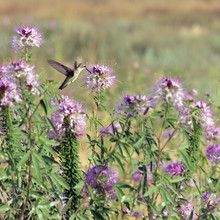 Hummingbirds On Wild Flowers Rocky Mountain Bee Plant (Cleome Serrulata)  In The Desert