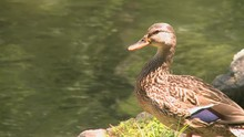 Duck Sits By Water's Edge (3 Of 3)