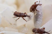 Rice Weevil, Or Science Names ...