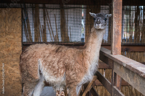 Deurstickers Lama bright adult lama looks aside