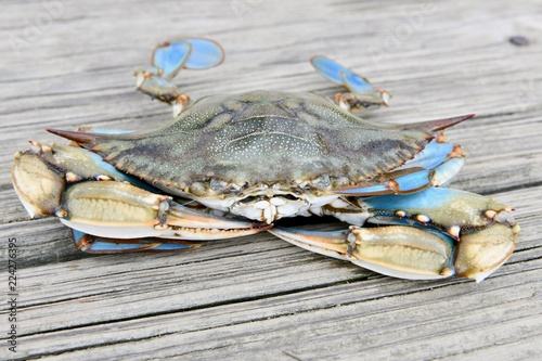 Mature male blue crab from the Chesapeake bay