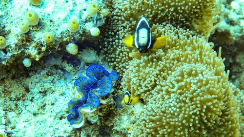 anemone fish and clam in the maldives. Tablou Canvas