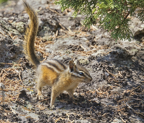 Photo  Yellow-pine chipmunk (Tamias amoenus)