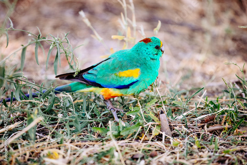 Male Mulga Parrot Canvas-taulu