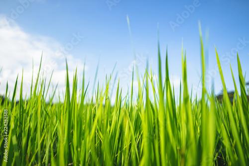 Poster Rijstvelden rice plant Green rice field